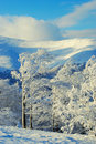 Snow covered trees after a snowstorm Royalty Free Stock Photo