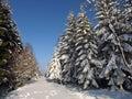 Sneh pokrytý stromy v zime