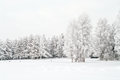 Snow covered white birches and evergreen pines Stock Images