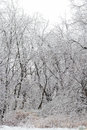 Snow covered wooded area bare trees shrubs and other woody plants are in after a snowstorm and while still overcast by white Stock Image