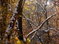 Snow covering automnal colors of a forest Royalty Free Stock Photo