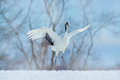 Snow dance in nature. Wildlife scene from snowy nature. Dancing Red-crowned crane with open wing in flight, with snow storm, Hokka Royalty Free Stock Photo