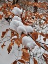 Snow on Dead Leaves Royalty Free Stock Photo