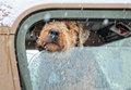 Snow dog a looking out of a car window on a snowy day Royalty Free Stock Image