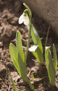 Snow drop 1 Royalty Free Stock Photography