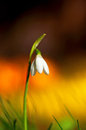 Snow drop on colorful background with bright day in spring Royalty Free Stock Images