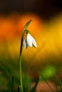 Snow drop on colorful background with bright day in spring Stock Photography