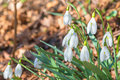Snow drop group in spring during a sunny day Royalty Free Stock Photography