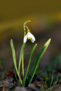 Snow drop single flower on yellow background in early spring Royalty Free Stock Images