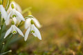 Image : Snowdrops  spring growing