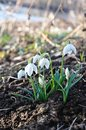 Snow drops march announce spring Royalty Free Stock Photography
