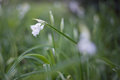 Snow drops in the meadow Royalty Free Stock Photo