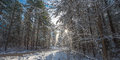 Snow falls from covered pines - beautiful forests along rural roads. Royalty Free Stock Photo