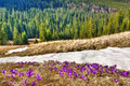Snow and flowers are in spring mountains Stock Photography