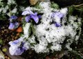 Snow on flowers Royalty Free Stock Photo