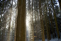 Snow flurry driving in a coniferous forest between the boles Royalty Free Stock Photography