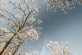 Snow frost covered locust trees profiled bright sky winter park Stock Photo
