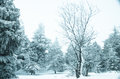 Snow and frost covered pine trees in cold winter time Royalty Free Stock Photography
