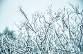 Snow and frost covered pine trees in cold winter time Royalty Free Stock Image