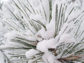 Snow frost on pine tree Stock Photos