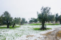 Snow in the galilee olive trees on a rare snowy day upper northern israel Royalty Free Stock Images