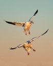 Snow geese Stock Photo