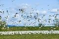 Snow Geese Flock Royalty Free Stock Photo