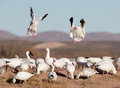 Snow geese landing in flock two field with a large on the ground Stock Image