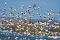 Snow Geese Lift Off Royalty Free Stock Photo