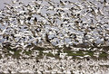 Snow Geese Migration Stock Image