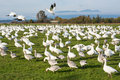 Snow geese in richmond bc canada every year tens of thousands of migrate from russia to the fraser estuary Stock Photo
