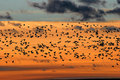 Snow Geese at Sunrise at Bosque del Apache National Wildlife Ref Royalty Free Stock Photo