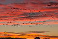 Snow Geese Sunrise Flight Royalty Free Stock Photo