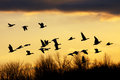 Snow Geese at Sunset Royalty Free Stock Photo