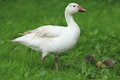 Snow goose with chicks the the two in the grass Royalty Free Stock Image