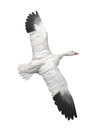 Snow goose in flight isolated mounted a flying position on white Royalty Free Stock Photo