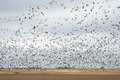 Snow goose migration fall in greater and lesser gees in farm field in saskatchewan canada Stock Images