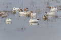Snow goose white migratory bird Stock Photos