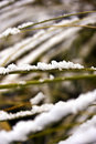 Snow on grass stems Stock Photos