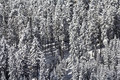 Snow laden conifers close up of a stand of conifer trees heavily with Stock Photography