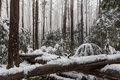 Snow laying on fallen trees and ferns in Australian eucalyptus f