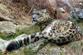 Snow Leopard Royalty Free Stock Images