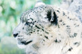 Snow Leopard Alert Royalty Free Stock Photography