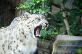 Snow leopard a bares its teeth at the paris zoo Royalty Free Stock Image