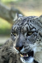 Snow leopard bearing her teeth close up of a Stock Photography