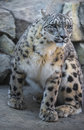 Snow leopard beautiful on a covered rocks Stock Photos
