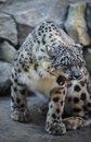 Snow leopard beautiful on a covered rocks Stock Photography