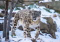 Snow leopard beautiful on a covered rocks Stock Photo