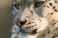 Snow leopard close up Stock Photography