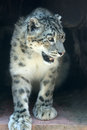 Snow leopard the close up of Stock Images